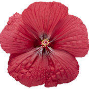 hibiscus_summerific_holy_grail_02.jpg