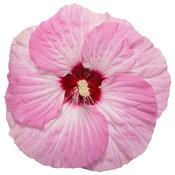 hibiscus_summerific_spinderella_macro_01.jpg