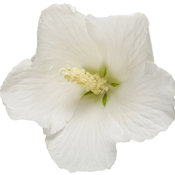 hibiscus_white_pillar_03.jpg