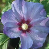 hibiscusazurrisatin.jpg