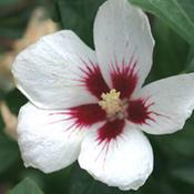 hibiscuslilkim.jpg