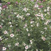 hibiscuslilkim9734c.jpg