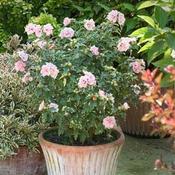 hibiscussugartip4012.jpg