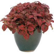 Hippo™ Red - Polka Dot Plant - Hypoestes