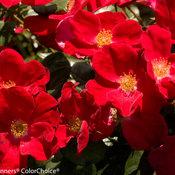 home_run_rose-9931.jpg