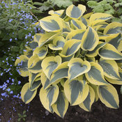 hosta_autumn_frost.jpg