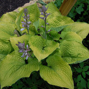Shadowland® 'Coast to Coast' - Hosta hybrid