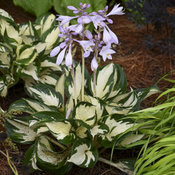 hosta_fire_and_ice_0001_low_res.jpg