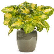 hosta_shadowlandr_etched_glass.jpg