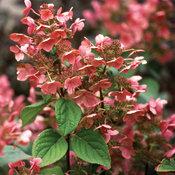 Quick Fire® - Panicle Hydrangea - Hydrangea paniculata