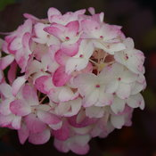 hydrangea-fire-light-tidbit-10.jpg