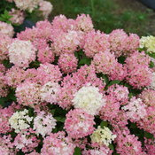 hydrangea-fire-light-tidbit-4.jpg