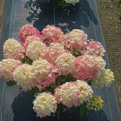 hydrangea-fire-light-tidbit-6.jpg