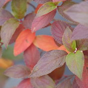 hydrangea-fire-light-tidbit-9.jpg