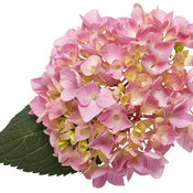 hydrangea-macrophylla-lets-dance-big-easy-01.jpg