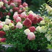 hydrangea-paniculata-little-lime-punch-2.jpg