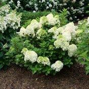 hydrangea-paniculata-little-lime-punch-3.jpg
