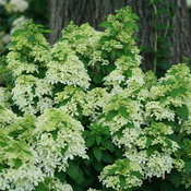 Quick Fire Fab hydrangea beginning to flower in early summer.