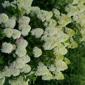 Quick Fire Fab hydrangea in full bloom in early summer covered in cone shaped wh