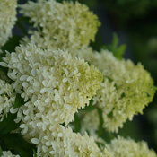 Closeup of the unusual cruciform florets of Quick Fire Fab panicle hydrangea