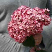 hydrangea_arb_invincibelle_ruby_img_9226.jpg