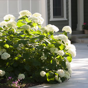 hydrangea_arborescens_incrediball_img_2705.jpg