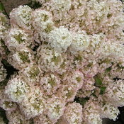 Bobo hydrangea in bloom
