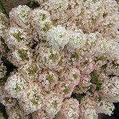 hydrangea_bobo_in_bloom.jpg