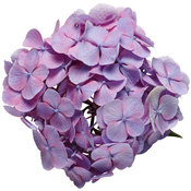 hydrangea_lets_dance_big_easy_02.jpg