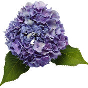 hydrangea_lets_dance_rhythmic_blue_01.jpg