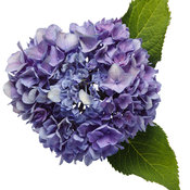 hydrangea_lets_dance_rhythmic_blue_02.jpg
