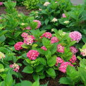 Let's Dance Big Band bigleaf hydrangea in trial garden