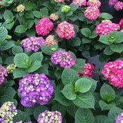 hydrangea_macrophylla_lets_dance_big_band_img_9104.jpg