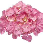 hydrangea_macrophylla_lets_dance_big_easy_02.jpg