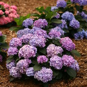 hydrangea_macrophylla_lets_dance_blue_jangles_img_1029.jpg