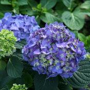 hydrangea_macrophylla_lets_dance_blue_jangles_img_4699.jpg