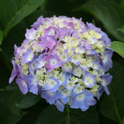 hydrangea_macrophylla_lets_dance_blue_jangles_img_7627.jpg