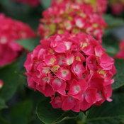 Wee Bit Giddy® - Bigleaf Hydrangea - Hydrangea macrophylla