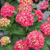hydrangea_macrophylla_wee_bit_giddy_dsc03789.jpg