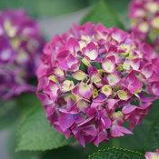 hydrangea_macrophylla_wee_bit_giddy_dsc03793.jpg