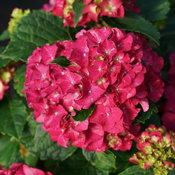 hydrangea_macrophylla_wee_bit_grumpy_dsc00352.jpg