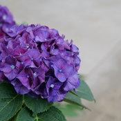 Wee Bit Grumpy® - Bigleaf Hydrangea - Hydrangea macrophylla