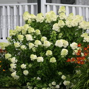 hydrangea_pan_limelight_img_7796.jpg