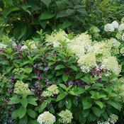 hydrangea_paniculata_bobo_dsc06543.jpg