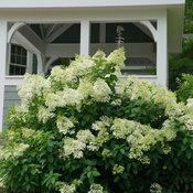 hydrangea_paniculata_bobo_dsc06592.jpg
