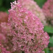 hydrangea_paniculata_bobo_img_0739.jpg