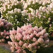 hydrangea_paniculata_bobo_img_3968c.jpg
