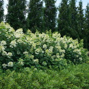 hydrangea_paniculata_fire_light_dsc00837.jpg