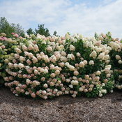 hydrangea_paniculata_fire_light_dsc01521.jpg