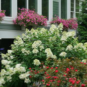 hydrangea_paniculata_fire_light_dsc03545.jpg